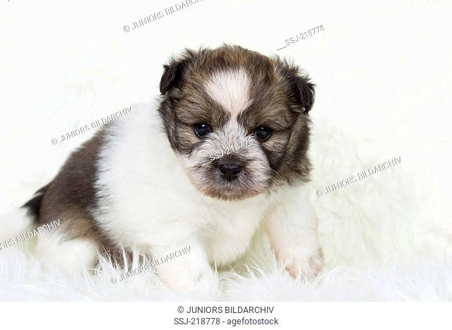 Small Elo. Puppy (5 weeks old) sitting. Studio picture against a white background. Germany
