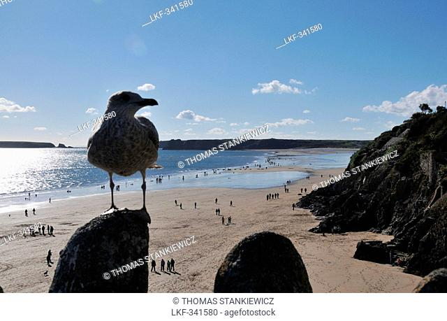 Beach at Tenby, close up of a seagull, Pembrokeshire, south-Wales, Wales, Great Britain