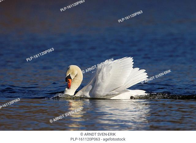 Territorial busking mute swan (Cygnus olor) male in threat display swimming with neck curved back and wings half raised in lake in spring