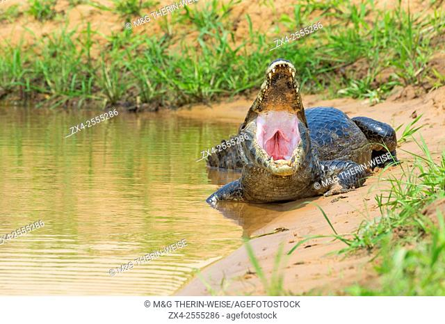 Yacare Caiman with open mouth, Cuiaba river, Pantanal, Brazil