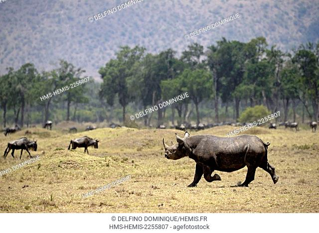 Kenya, Masai Mara Reserve, Black Rhinoceros (Diceros bicornis) on the move