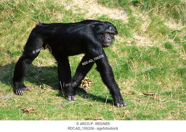 Bonobo male Pan paniscus Pygmy Chimpanzee