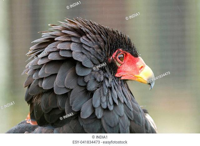photo portrait of a Bateleur Eagle
