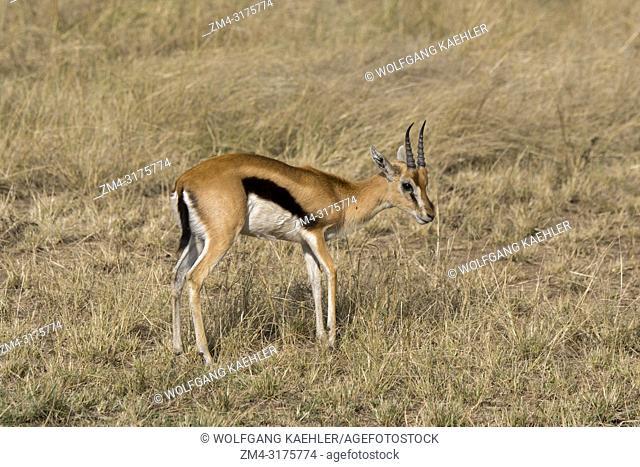 A Thomsons gazelle (Eudorcas thomsonii) in the grassland of the Masai Mara National Reserve in Kenya