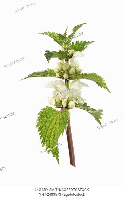 Lamium album - white nettle or white dead-nettle