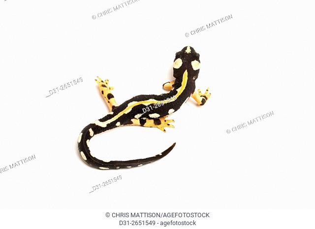 Luristan Newt, Kaiser's Spotted Newt, Kaiser's Mountain Newt, Neurergus kaiseri, Iran (captive). Critically Endangered
