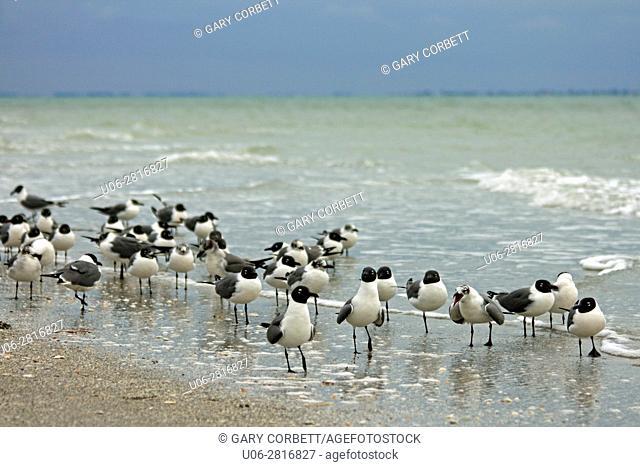 Laughing Gulls in Florida