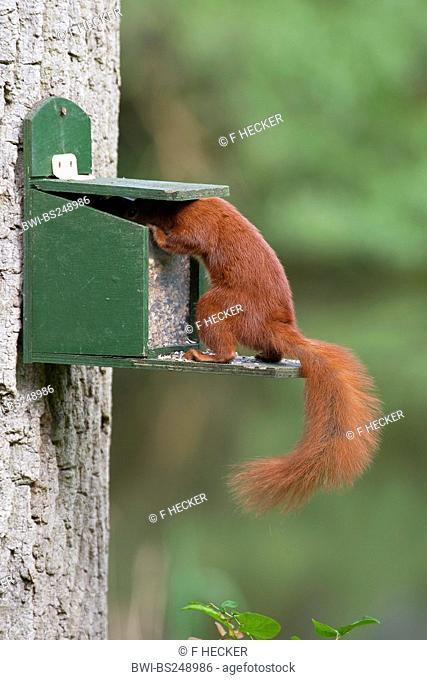 European red squirrel, Eurasian red squirrel Sciurus vulgaris, getting feed from a feeding box, Germany