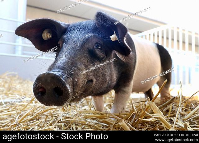 10 August 2020, Mecklenburg-Western Pomerania, Dummerstorf: A saddle pig is standing in the newly opened outdoor area of the Leibniz Institute for Farm Animal...