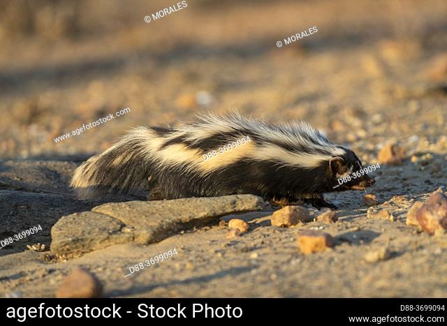 Africa, Namibia, Private reserve, Striped polecat or African Polecat (Ictonyx striatus) , captive