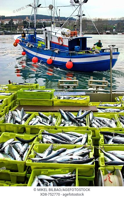 Mackerel catch (Scomberomorus maculatus) and fishing boat, Colindres port, Cantabria, Spain, Europe