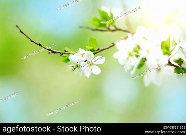 Blooming twig of fruit tree in the garden