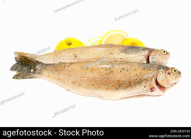 wild trout caught in the traditional style on white background