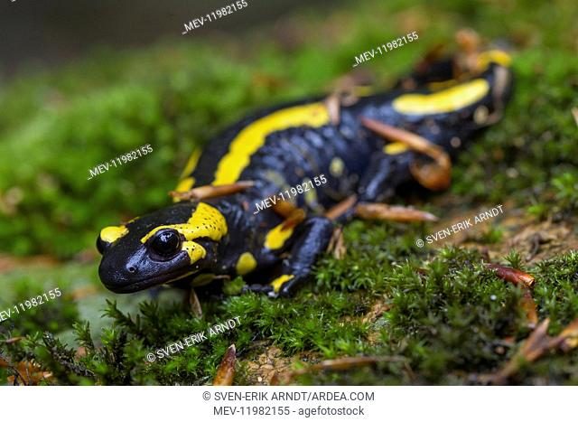 Fire Salamander - adult salamander in Harz National park - Germany