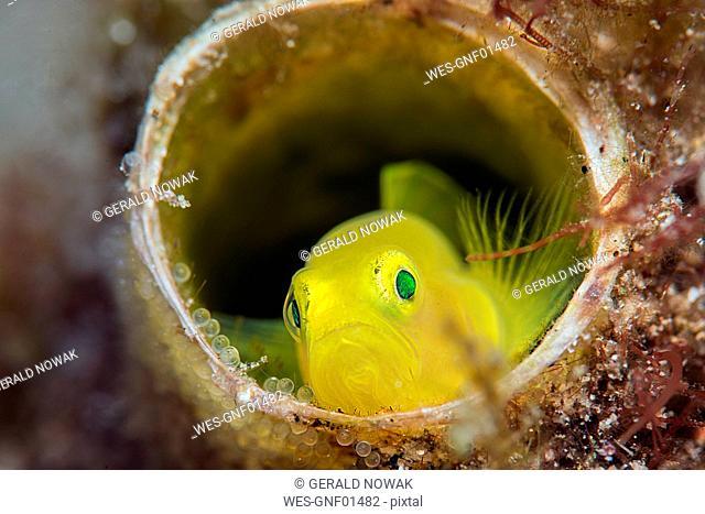 Yellow pygmy goby, Lubricogobius exiguus