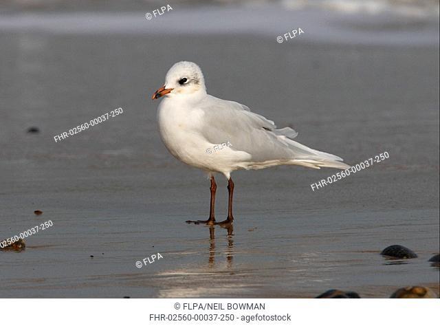 Mediterranean Gull Larus melanocephalus adult, winter plumage, standing on beach, Norfolk, England, october