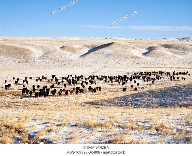 Livestock - Herd of Red Angus and Black Angus cattle on a snow covered Winter native prairie pasture / Alberta, Canada