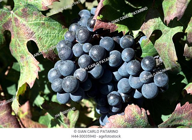 Italy, panorama of vineyards of Piedmont Langhe-Roero and Monferrato on the World Heritage List UNESCO. Close-up of a grape of Barbera Italy, Piedmont