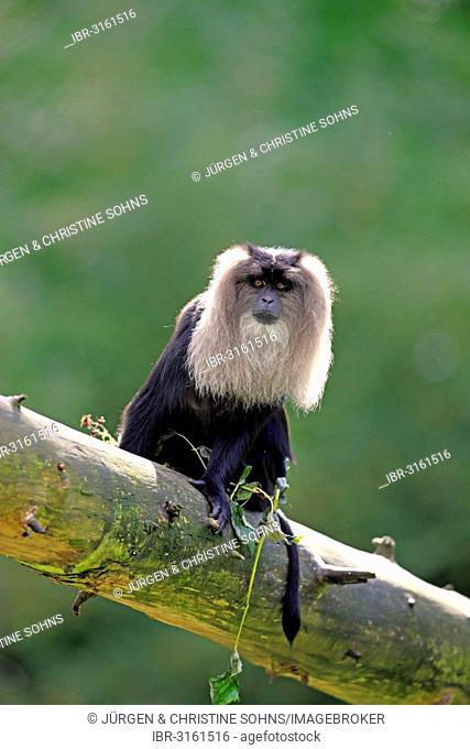 Lion-tailed Macaque or Wanderoo (Macaca silenus), adult, sitting on tree, Apeldoorn, Gelderland, The Netherlands