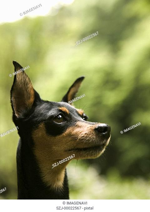 Miniature Pinscher Min-Pin
