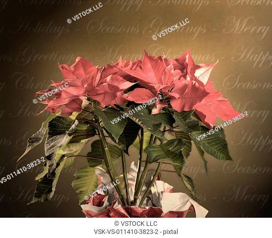 USA, Illinois, Metamora, poinsettia and Christmas greetings