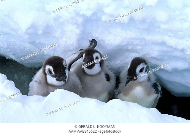 Emperor Penguin chicks in crack (Aptenodytes forsteri) Western Ross Sea, Antarctica
