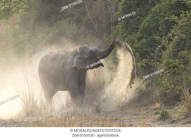 Asia, India, Uttarakhand, Jim Corbett National Park, Asian or Asiatic elephant (Elephas maximus), dust bath