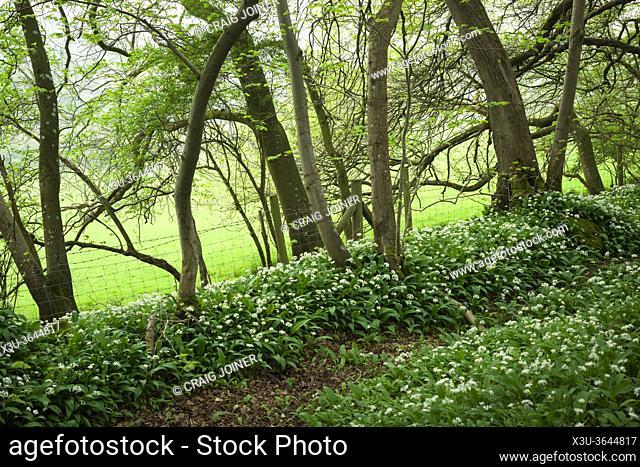 Wild Garlic (Allium ursinum) or Ramson flowers during spring in Kingâ. . s Wood in the Mendip Hills near Axbridge, Somerset, England