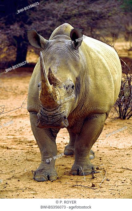 white rhinoceros, square-lipped rhinoceros, grass rhinoceros (Ceratotherium simum), standing on sandy ground, Namibia
