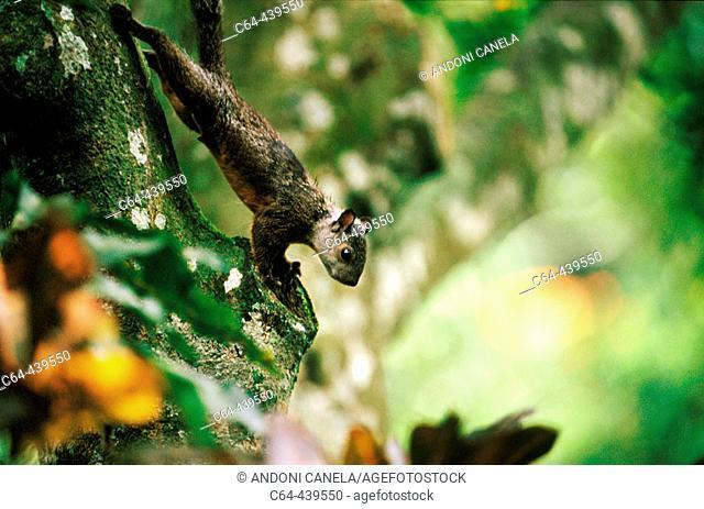 Squirrel (Sciurus sp.). Monteverde Natural Reserve. Costa Rica