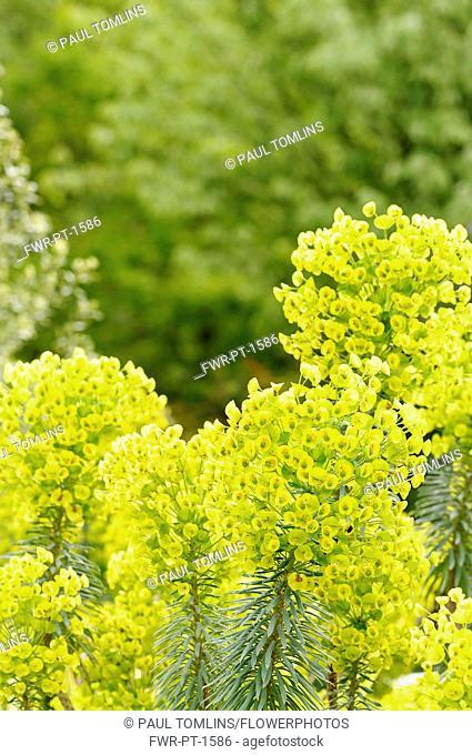 Spurge, Mediterranean spurge, Euphorbia characias wulfenii, growing outdoor.-