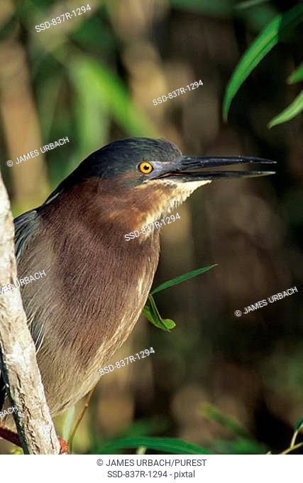 Close-up of a Green Heron