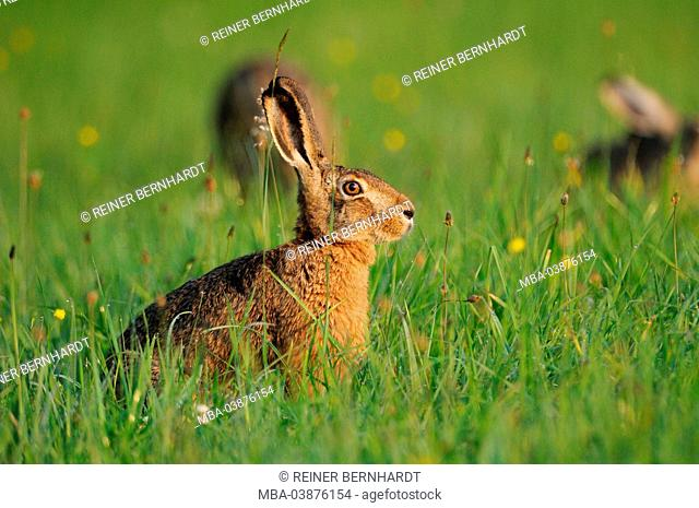 brown hare on summer meadow