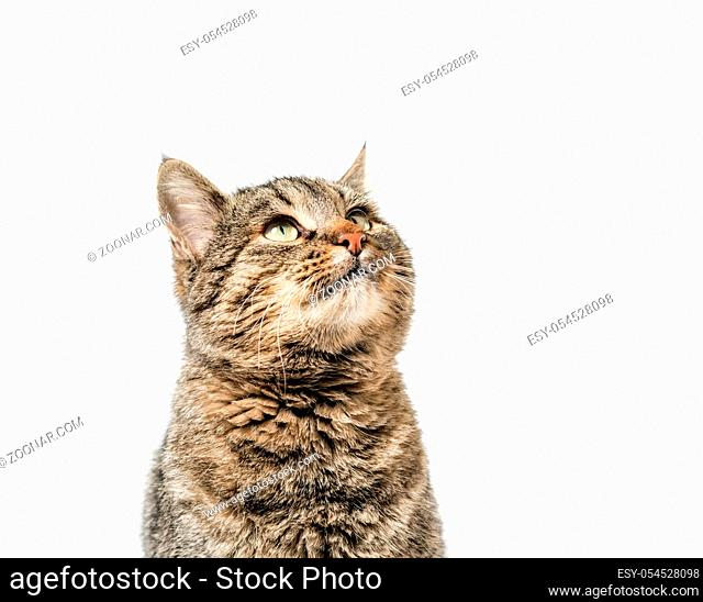 gray cat looks up portrait on a white background isolated