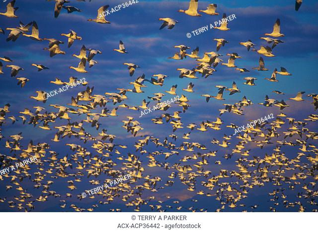 Snow Geese - Chen caerulescens