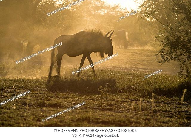 Blue wildebees (Connochaetes taurinus taurinus) in the sunset, Botswana, Africa