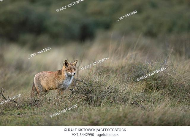 Red Fox / Rotfuchs ( Vulpes vulpes ) adult, standing, hunting in grasslands, watching, in typical pose, nice surrounding and colours, , wildlife, Europe