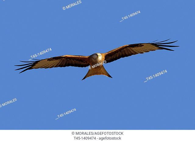 Red Kite (Milvus milvus), Lleida province, Catalonia, Spain