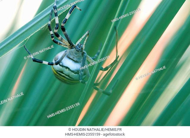 France, Isere, spider, Argiope (Argiope bruennichi)