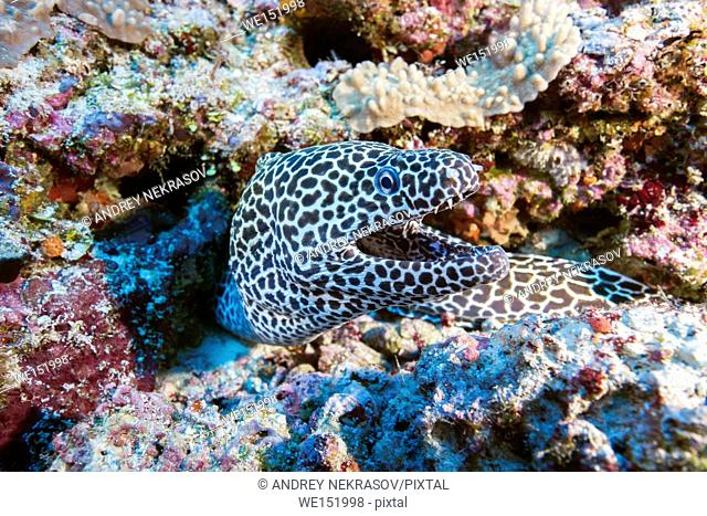 Honeycomb Moray (Gymnothorax favagineus) on a coral reef, Indian Ocean, Maldive