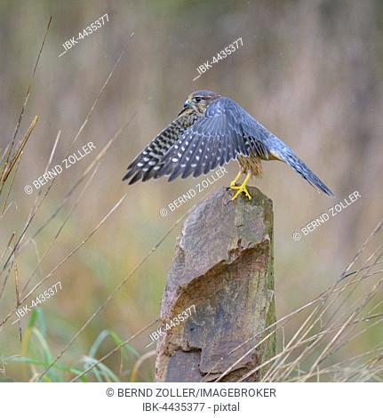 Merlin (Falco columbarius), male sitting on stone and flapping wings, Frankfurt Rhine-Main, Baden-Württemberg, Germany