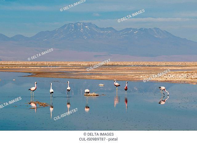 Chilean Flamingos, (Phoenicopterus chilensis), Laguna Chaxa, Salar de Atacama, Atacama Desert, Chile