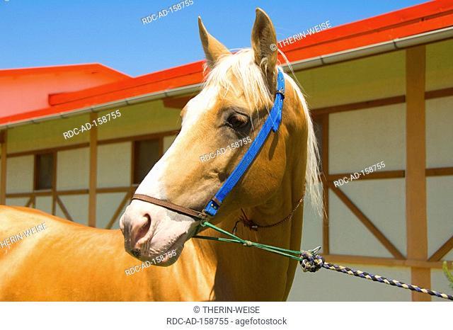 Akhal-Teke horse stud farm Ashgabat Turkmenistan Asgabat