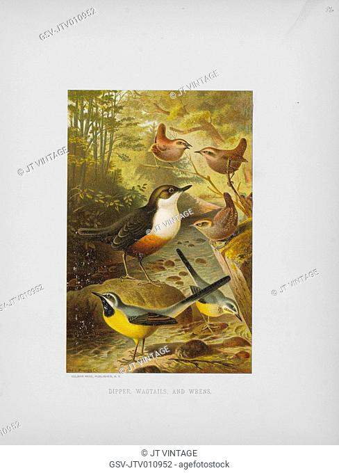Dipper, Wagtails, and Wrens, Selmar Press Publisher, NY, 1898