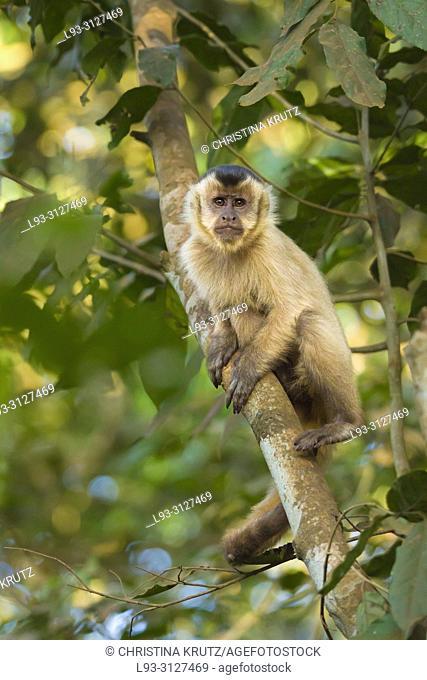 Hooded Capuchin, Cebus apella, in a tree, Pantanal, Brazil