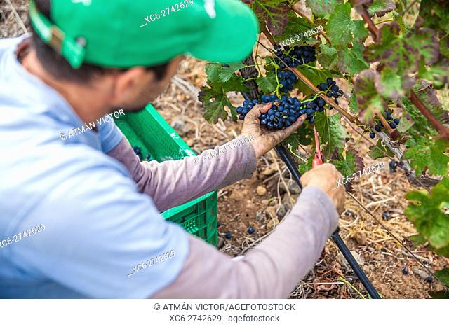 workers picking grapes during the grape harvest season