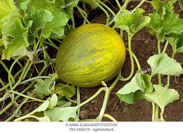 light green melon, Andalucia, Spain, Europe