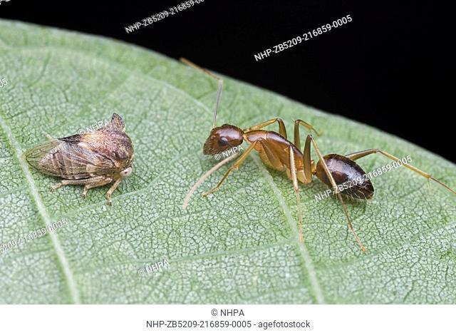 Treehopper and ant mutualism, Petaling Jaya, Malaysia
