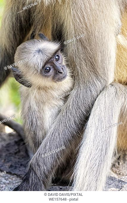 Infant Gray Langur Monkey Presbytis entellus with its mother at the Ranthambore National Park in Rajastan India. And is regarded as sacred in Hinduism