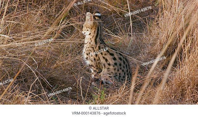 SERVAL CAT IN LONG GRASS; MAASAI MARA, KENYA, AFRICA; 04/09/2016